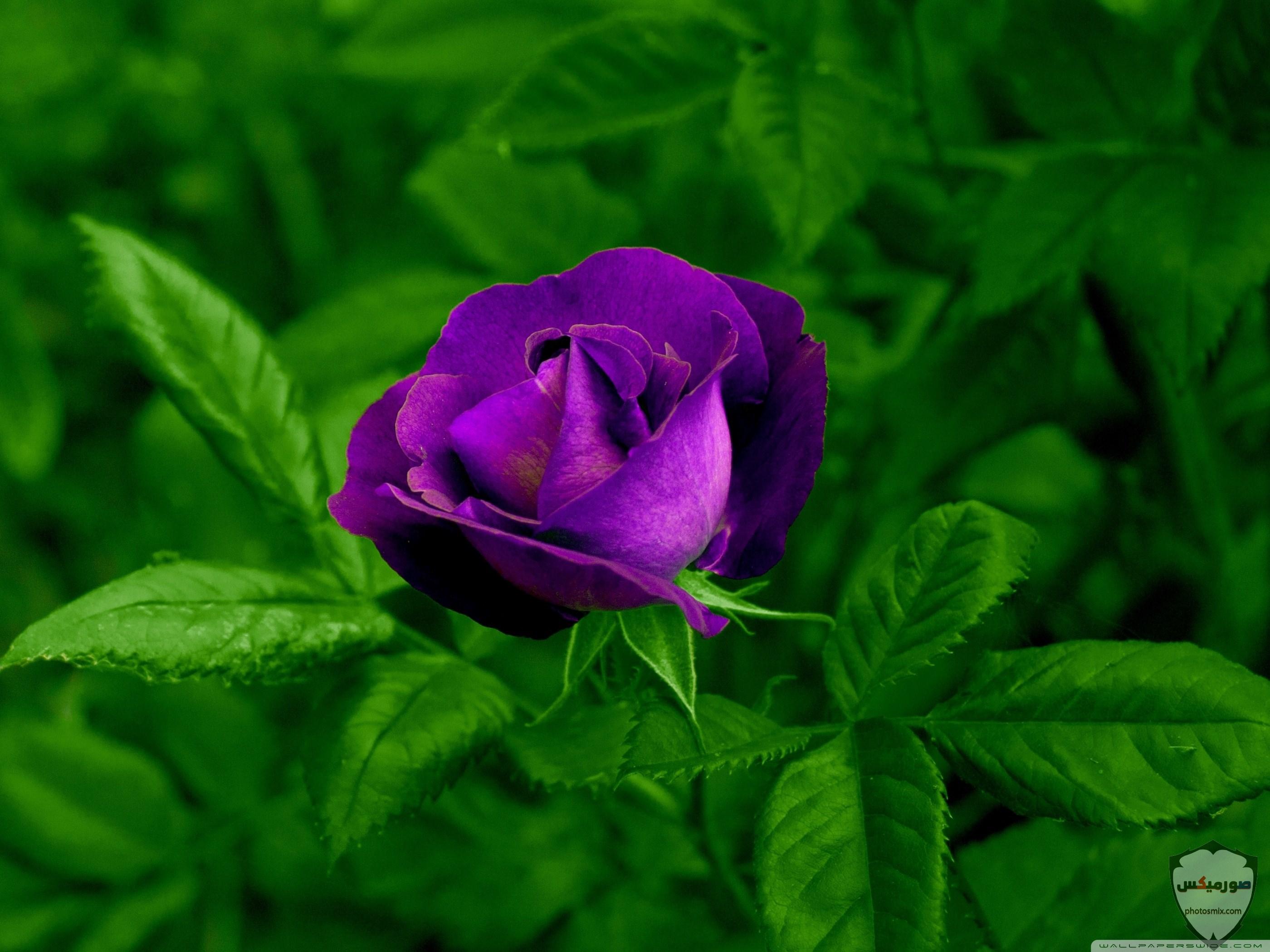 صور زهور جميلة 1