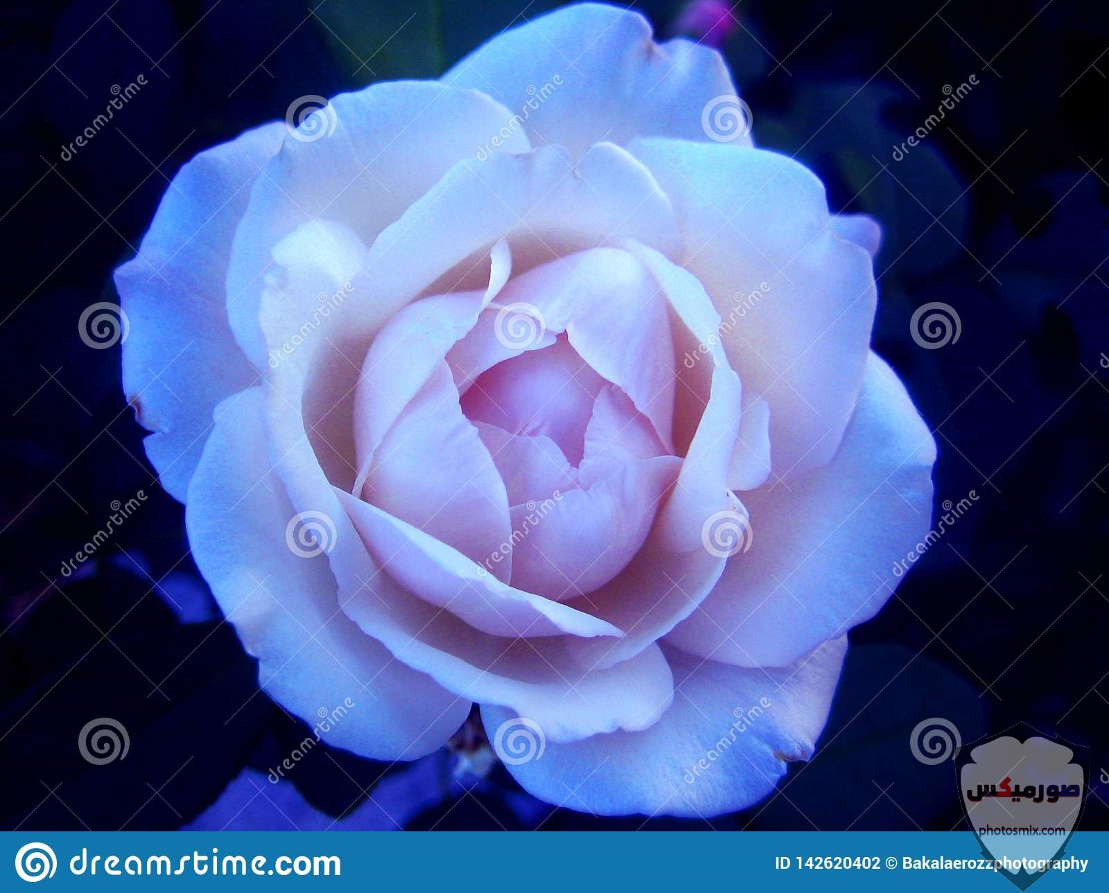 white rose flower macro background wallpaper fine art prints 142620402