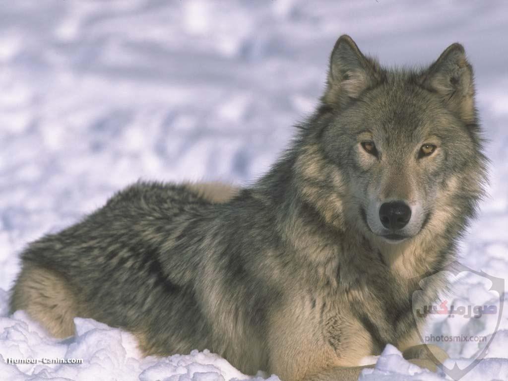 تحميل أحلى صور الذئب صور ذئب حلوة Fox photos Wild 10