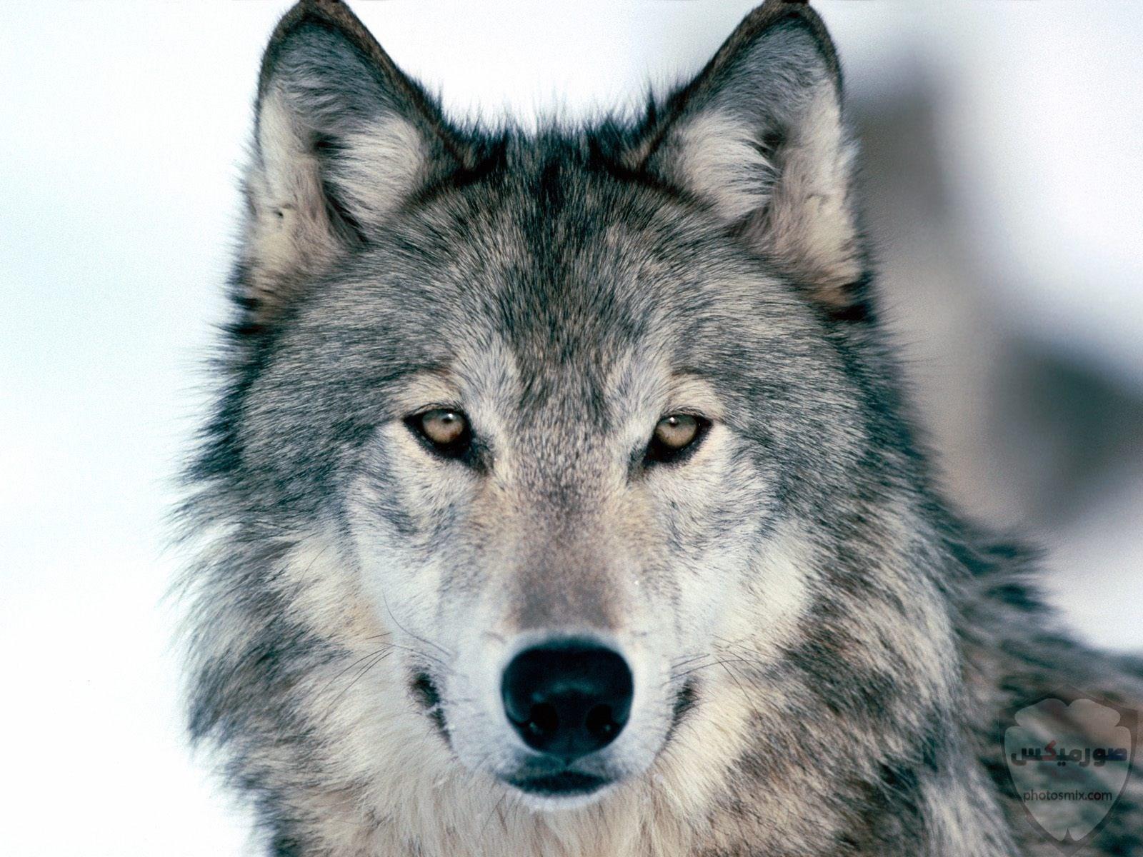 تحميل أحلى صور الذئب صور ذئب حلوة Fox photos Wild 4