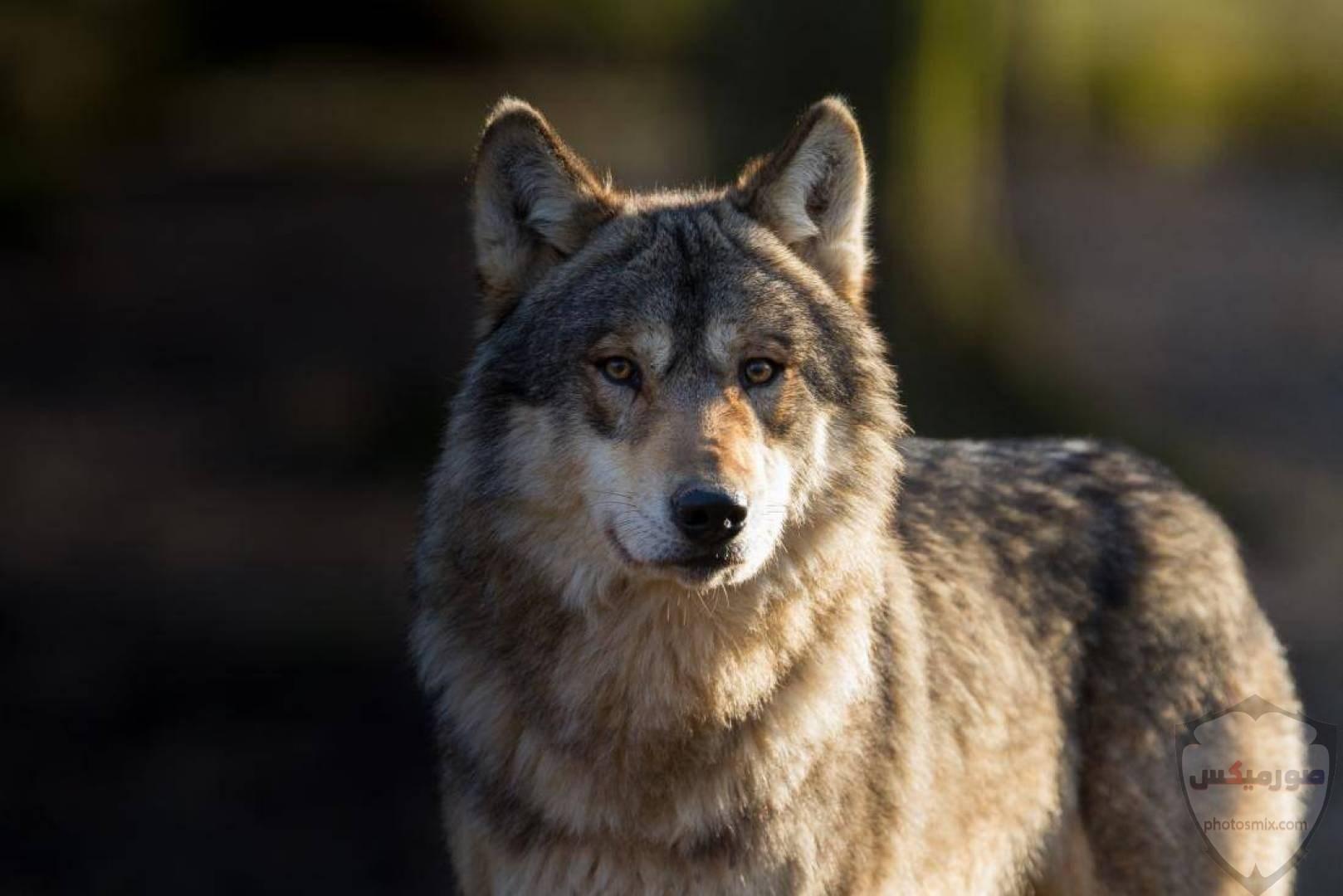 تحميل أحلى صور الذئب صور ذئب حلوة Fox photos Wild 6