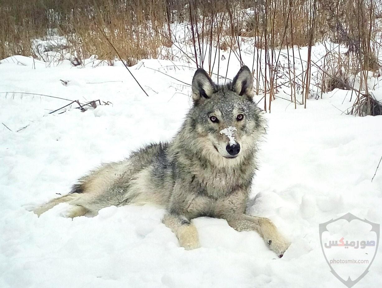 تحميل أحلى صور الذئب صور ذئب حلوة Fox photos Wild 7