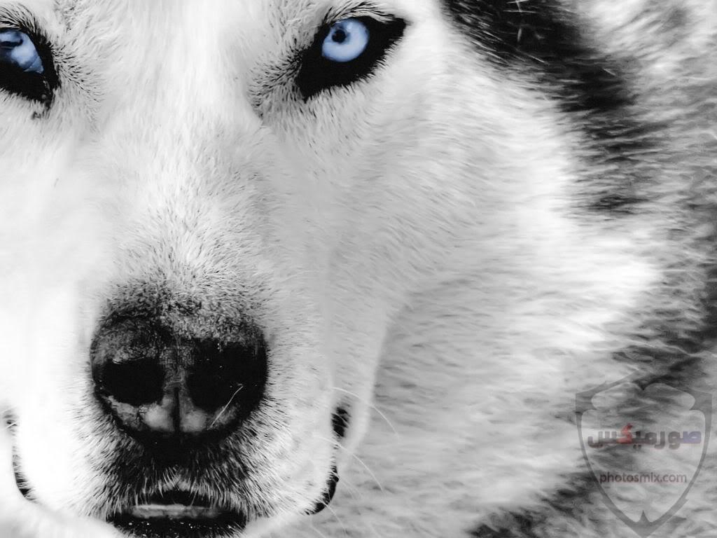 تحميل أحلى صور الذئب صور ذئب حلوة Fox photos Wild 9