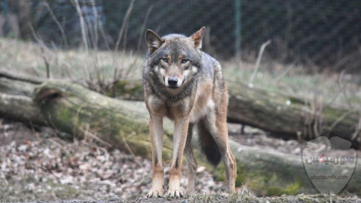 خلفيات وصور ذئاب جميلة Wolves 11