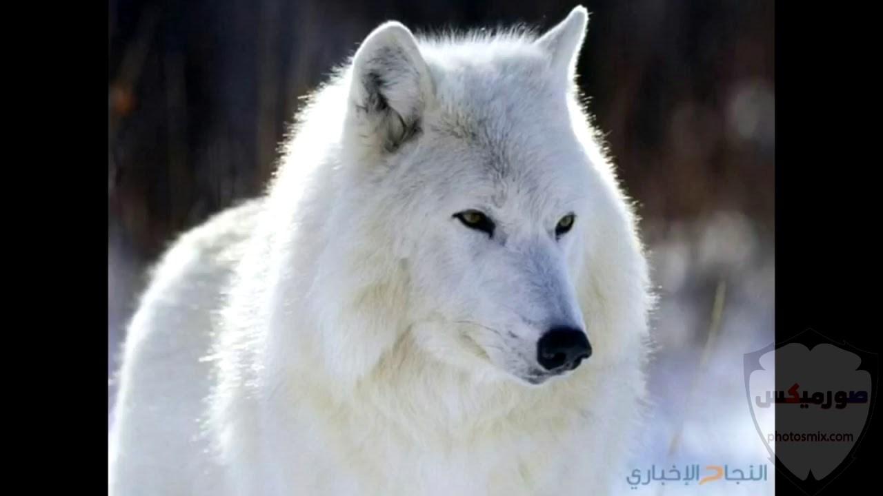 خلفيات وصور ذئاب جميلة Wolves 3