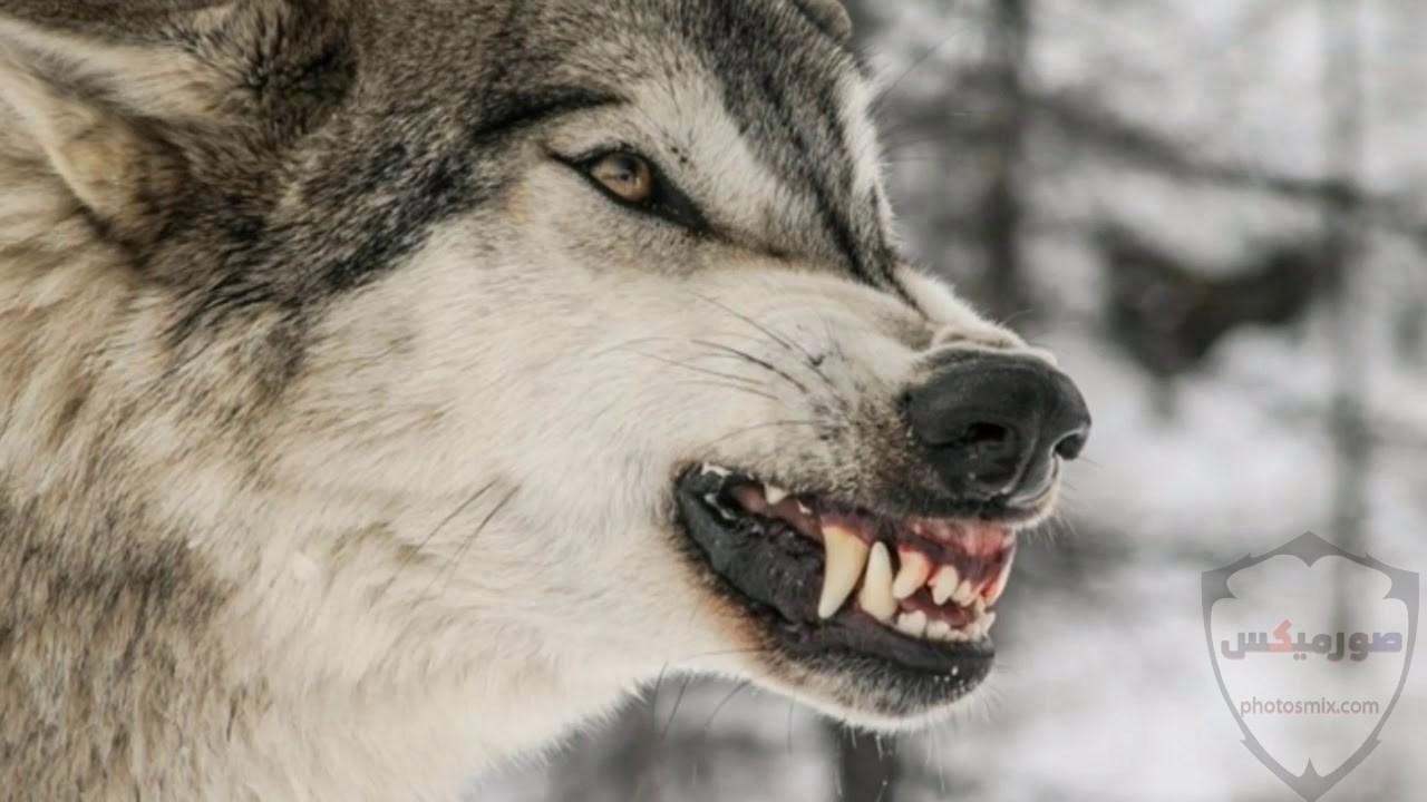 خلفيات وصور ذئاب جميلة Wolves 4