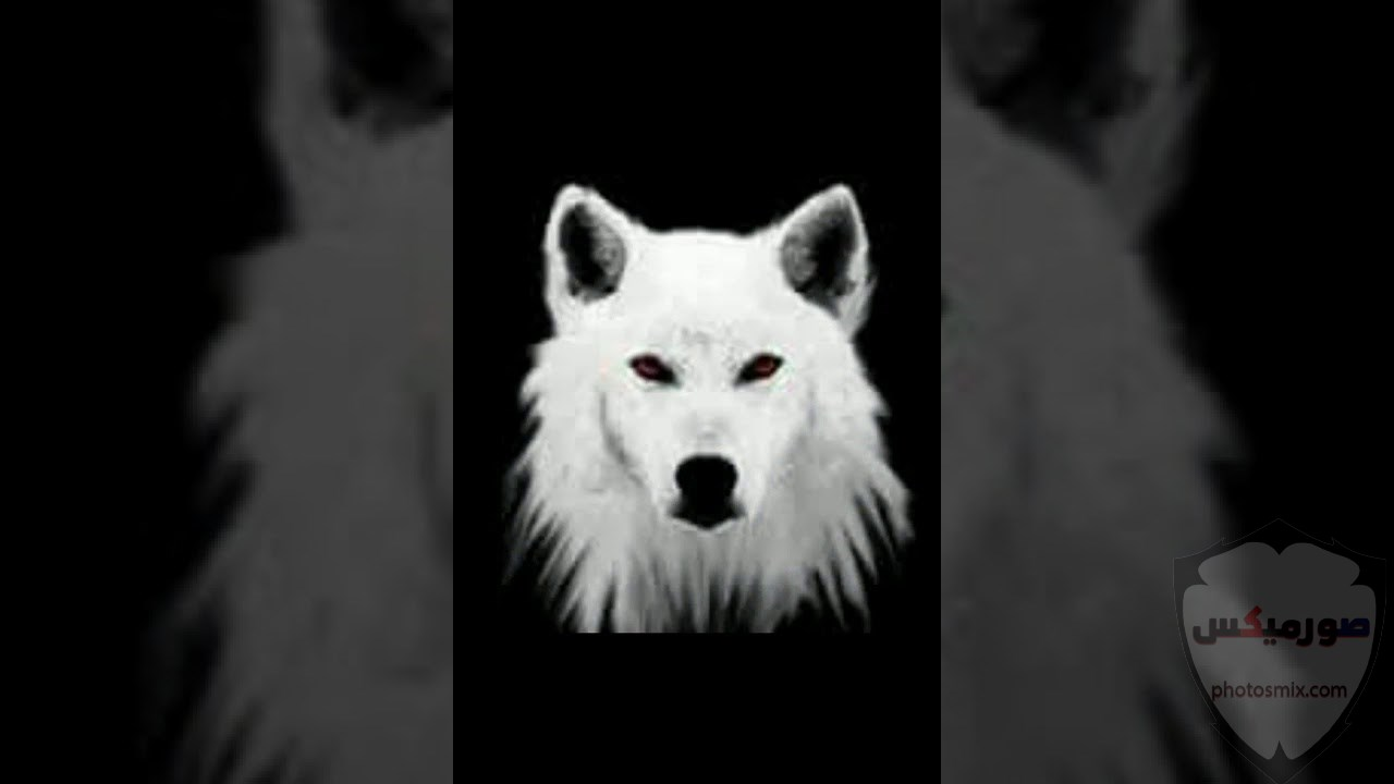 خلفيات وصور ذئاب جميلة Wolves 5