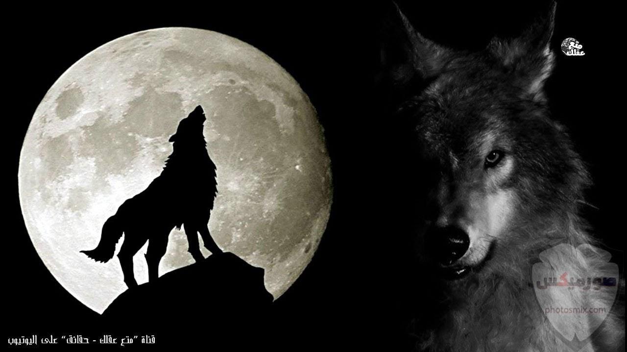 خلفيات وصور ذئاب جميلة Wolves 6