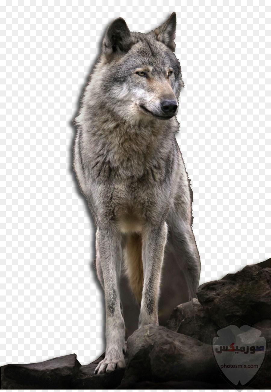 خلفيات وصور ذئاب جميلة Wolves 7
