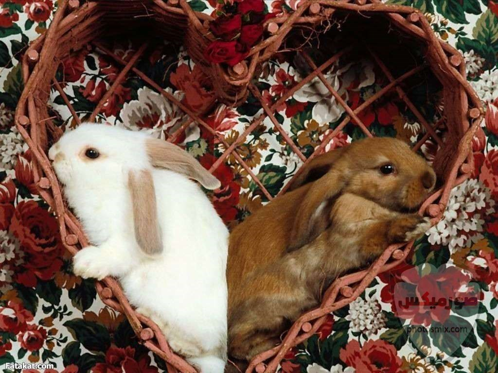 صور خلفيات رمزيات ارانب كيوت صورة خلفية ارنب كيوت جدا 34