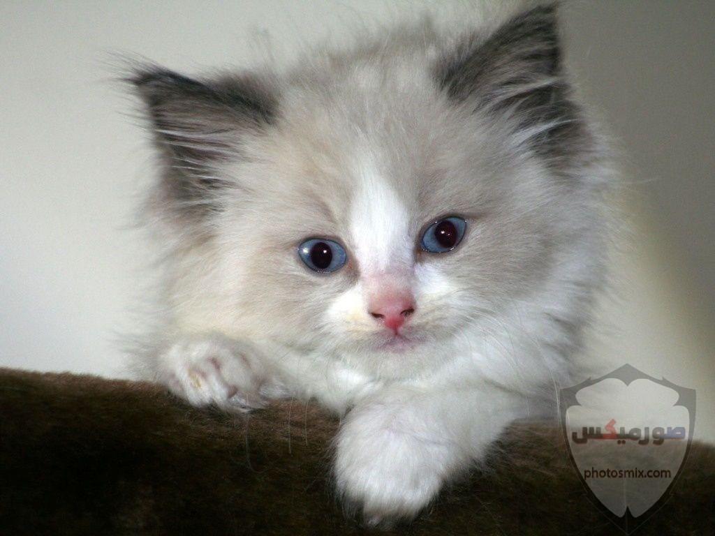 صور خلفيات رمزيات قطط كيوت صورة قطة كيوت جدا 10