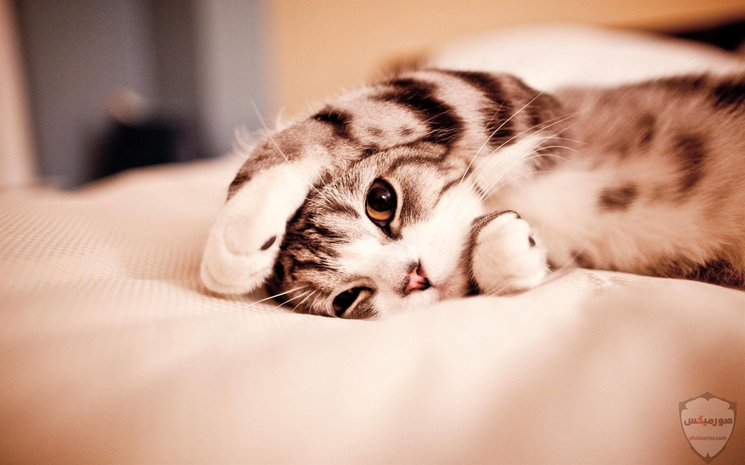 صور خلفيات رمزيات قطط كيوت صورة قطة كيوت جدا 11