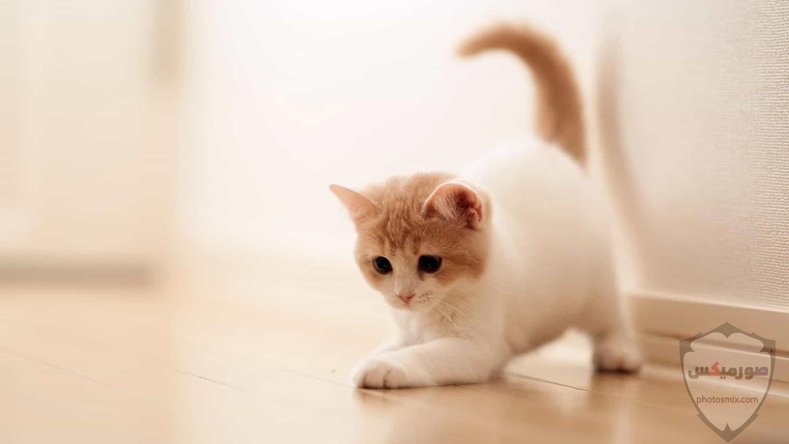 صور خلفيات رمزيات قطط كيوت صورة قطة كيوت جدا 17