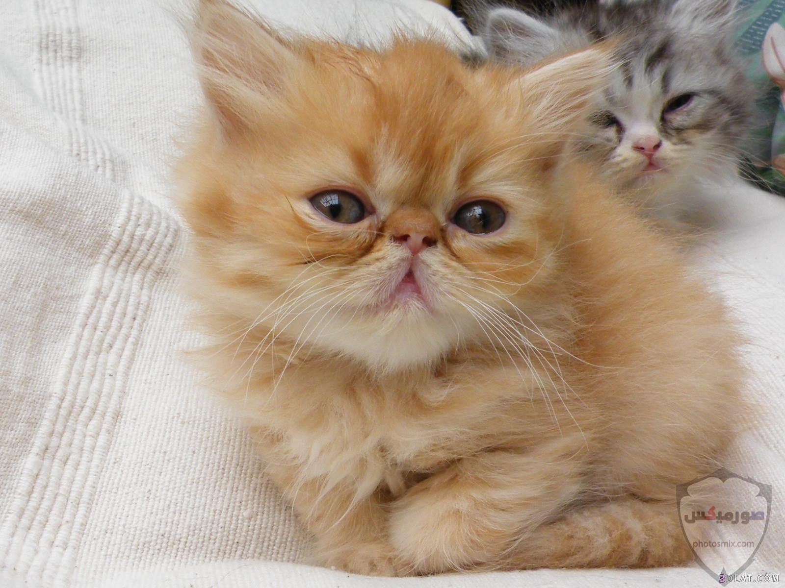 صور خلفيات رمزيات قطط كيوت صورة قطة كيوت جدا 19
