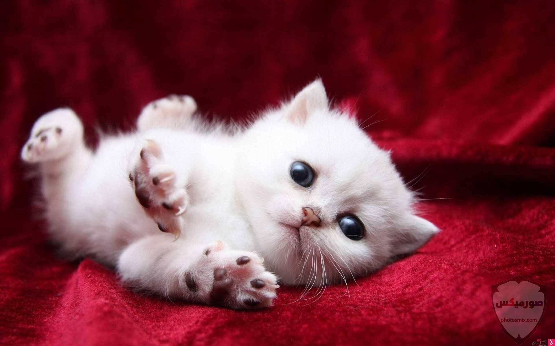 صور خلفيات رمزيات قطط كيوت صورة قطة كيوت جدا 23