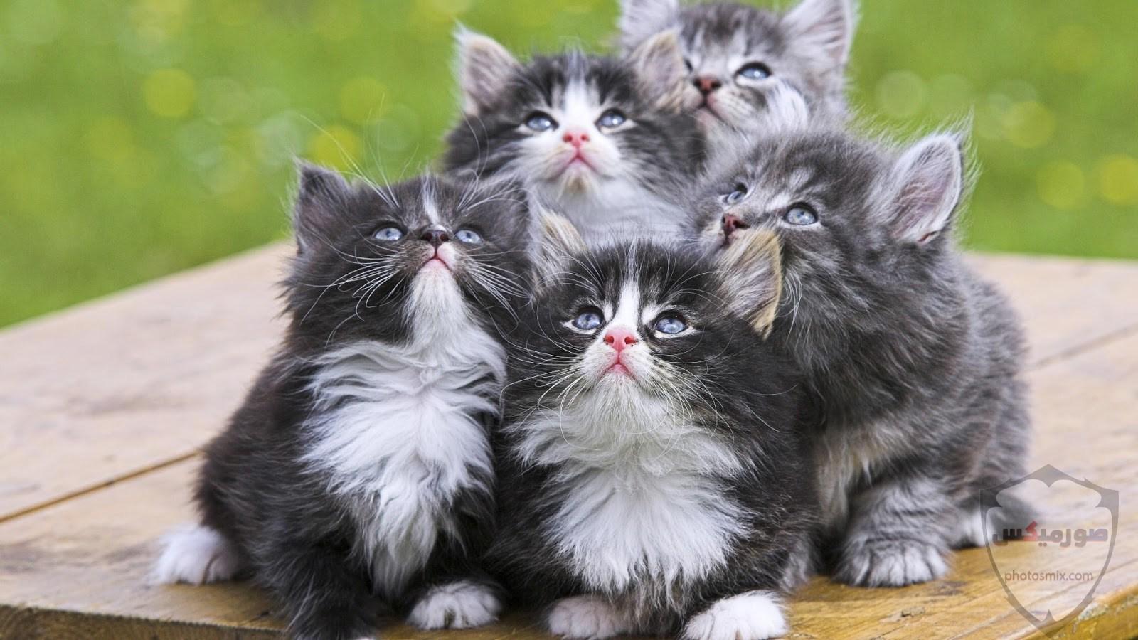 صور خلفيات رمزيات قطط كيوت صورة قطة كيوت جدا 25