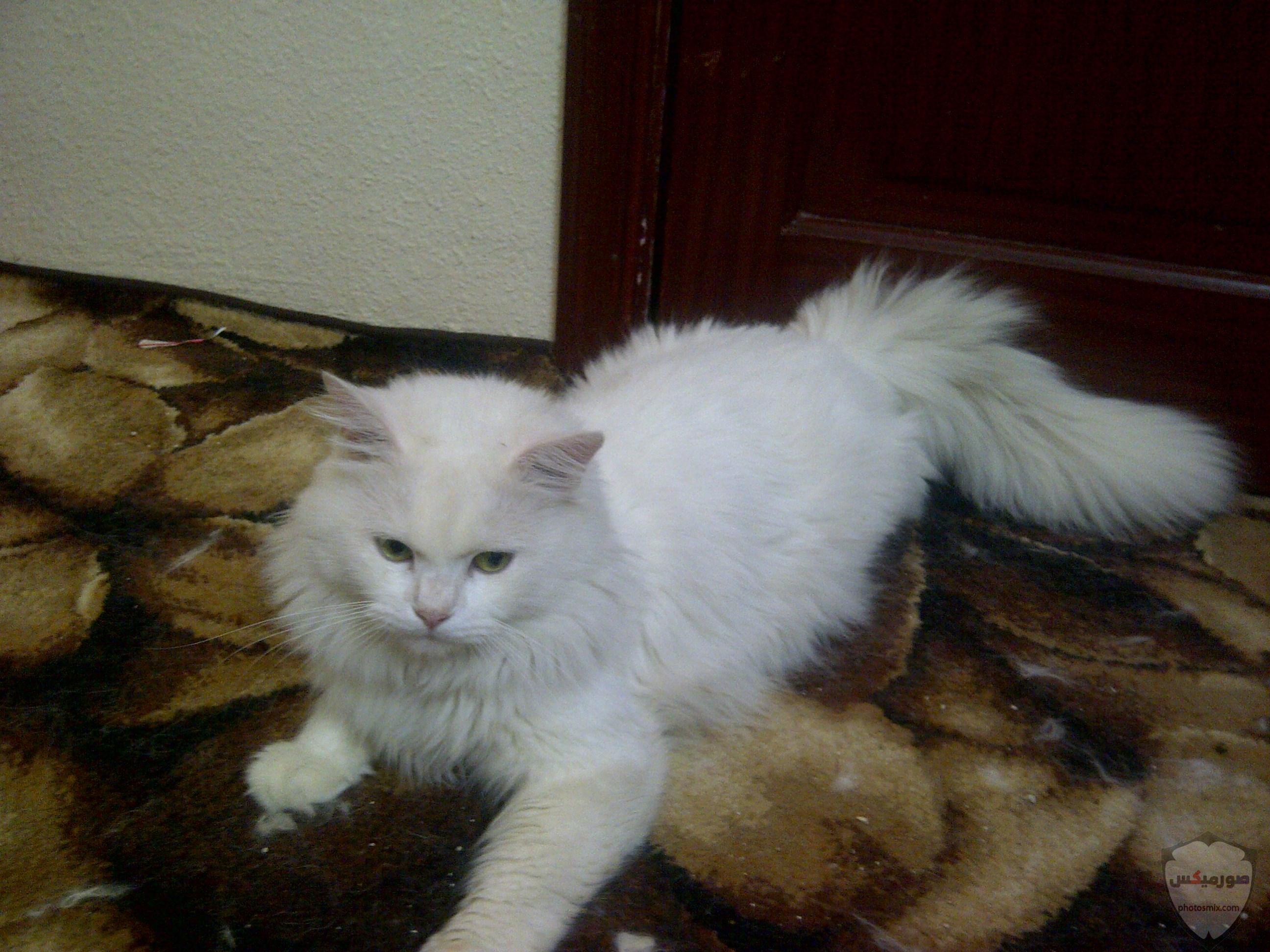 صور خلفيات رمزيات قطط كيوت صورة قطة كيوت جدا 26