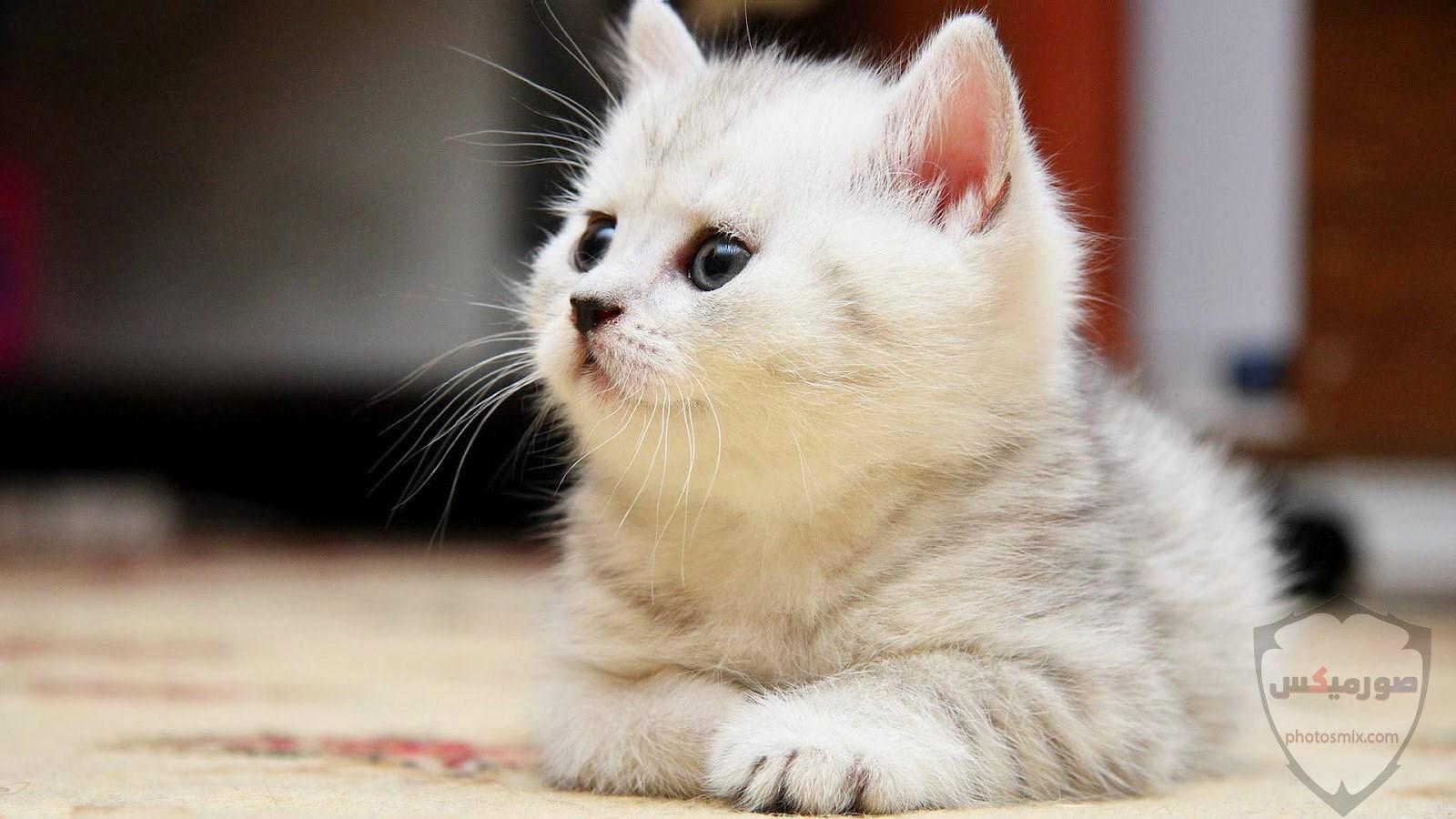 صور خلفيات رمزيات قطط كيوت صورة قطة كيوت جدا 27