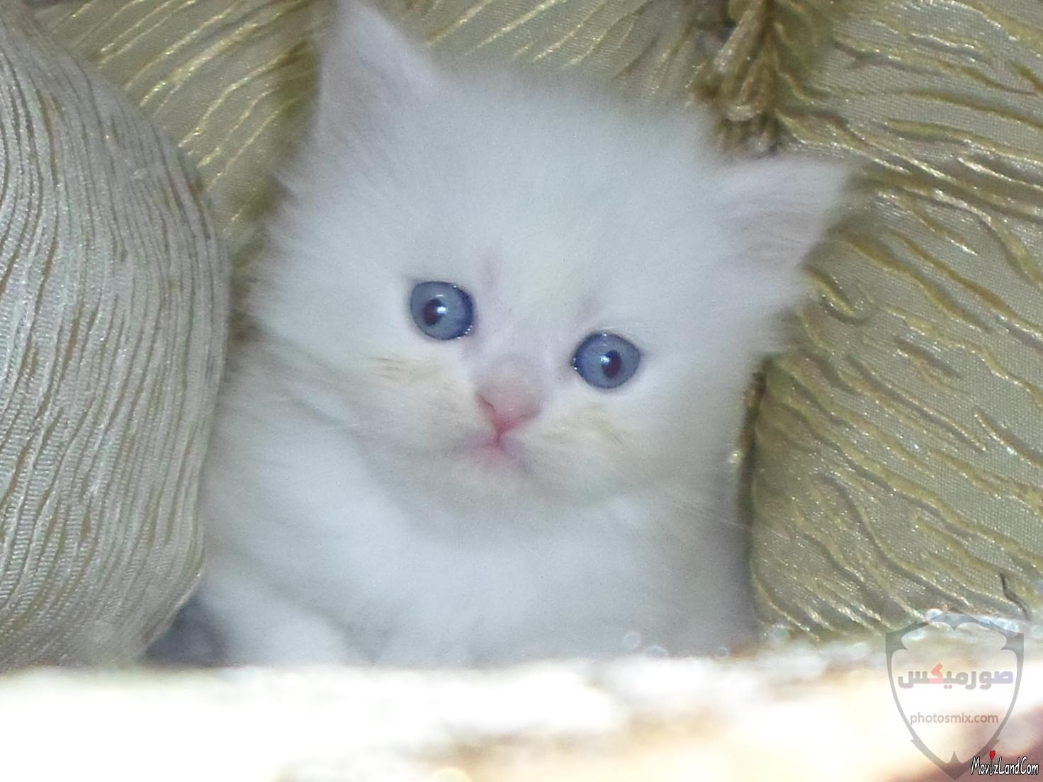 صور خلفيات رمزيات قطط كيوت صورة قطة كيوت جدا 30