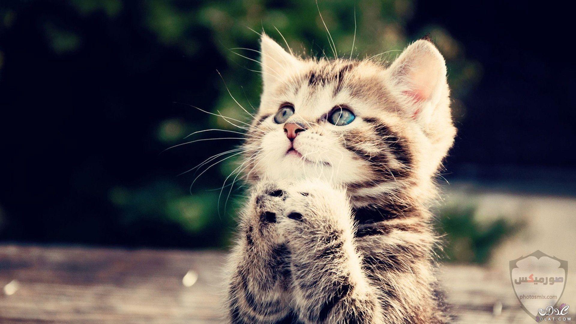 صور خلفيات رمزيات قطط كيوت صورة قطة كيوت جدا 36