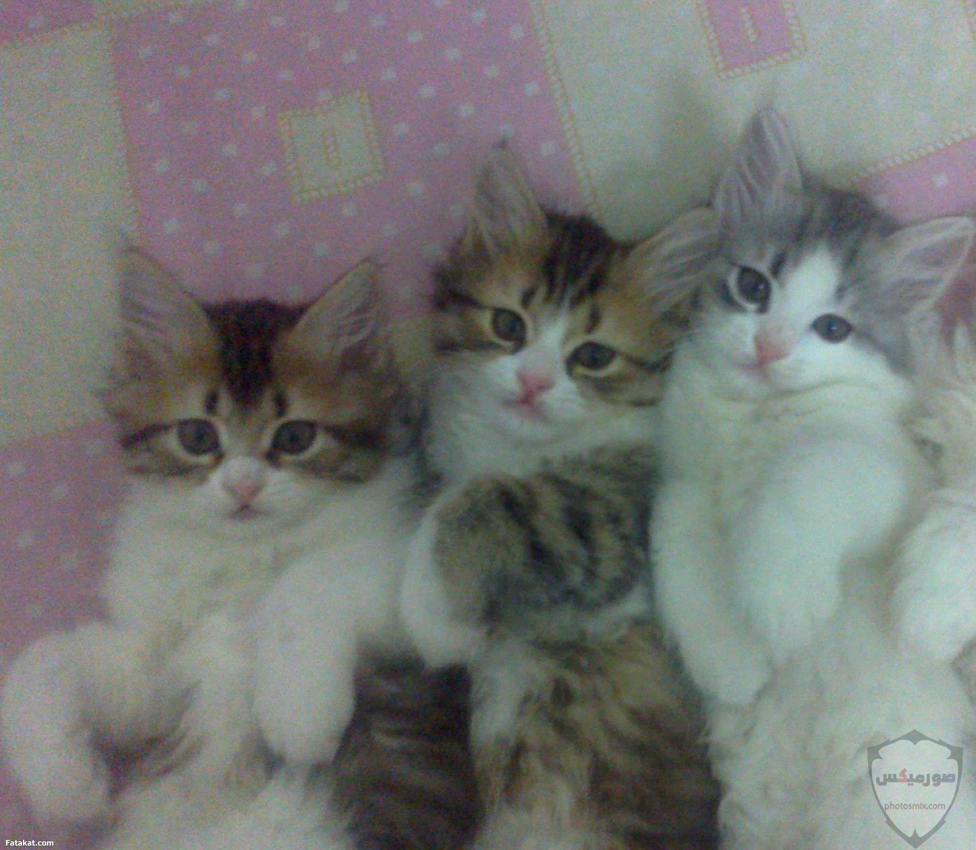 صور خلفيات رمزيات قطط كيوت صورة قطة كيوت جدا 37