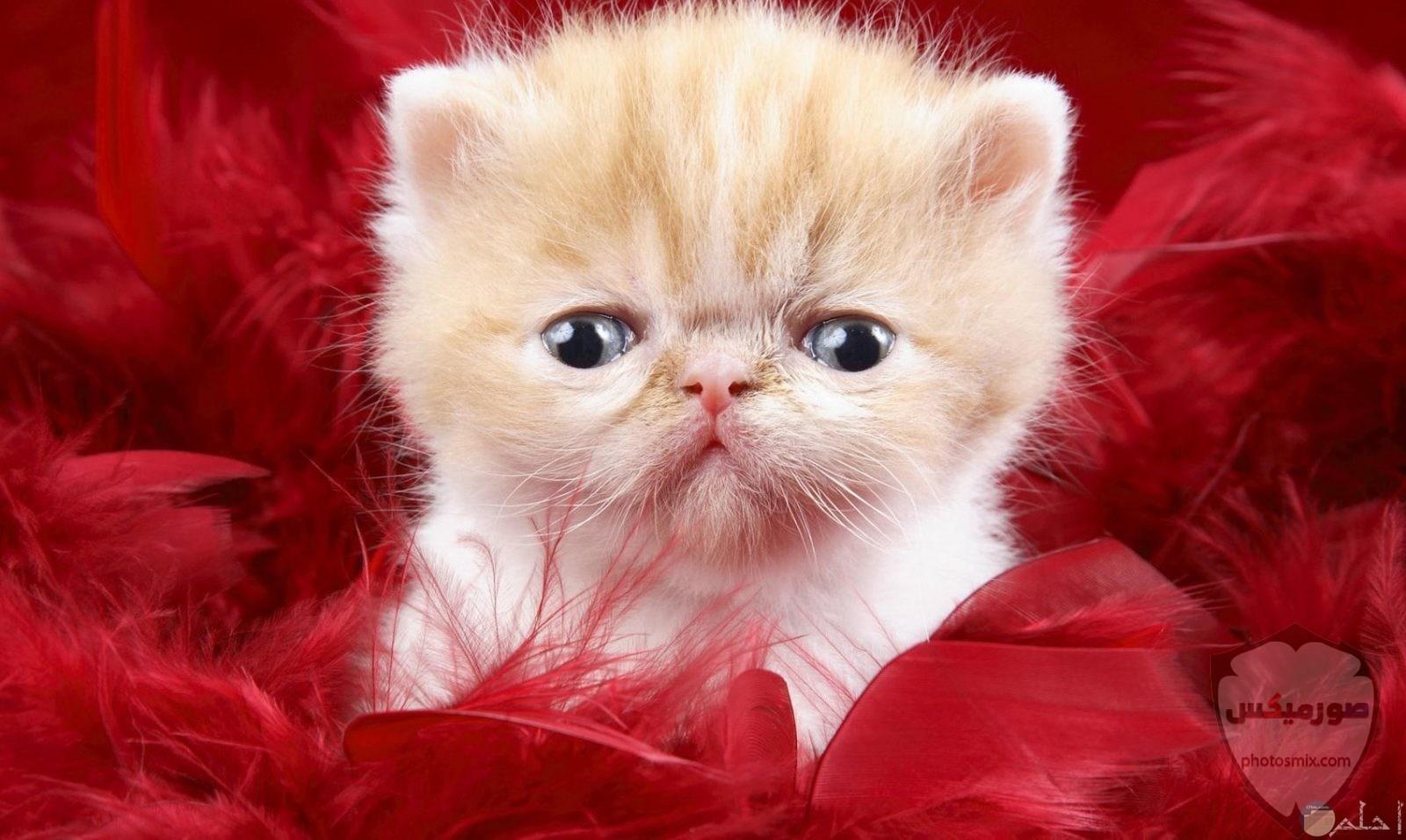 صور خلفيات رمزيات قطط كيوت صورة قطة كيوت جدا 4