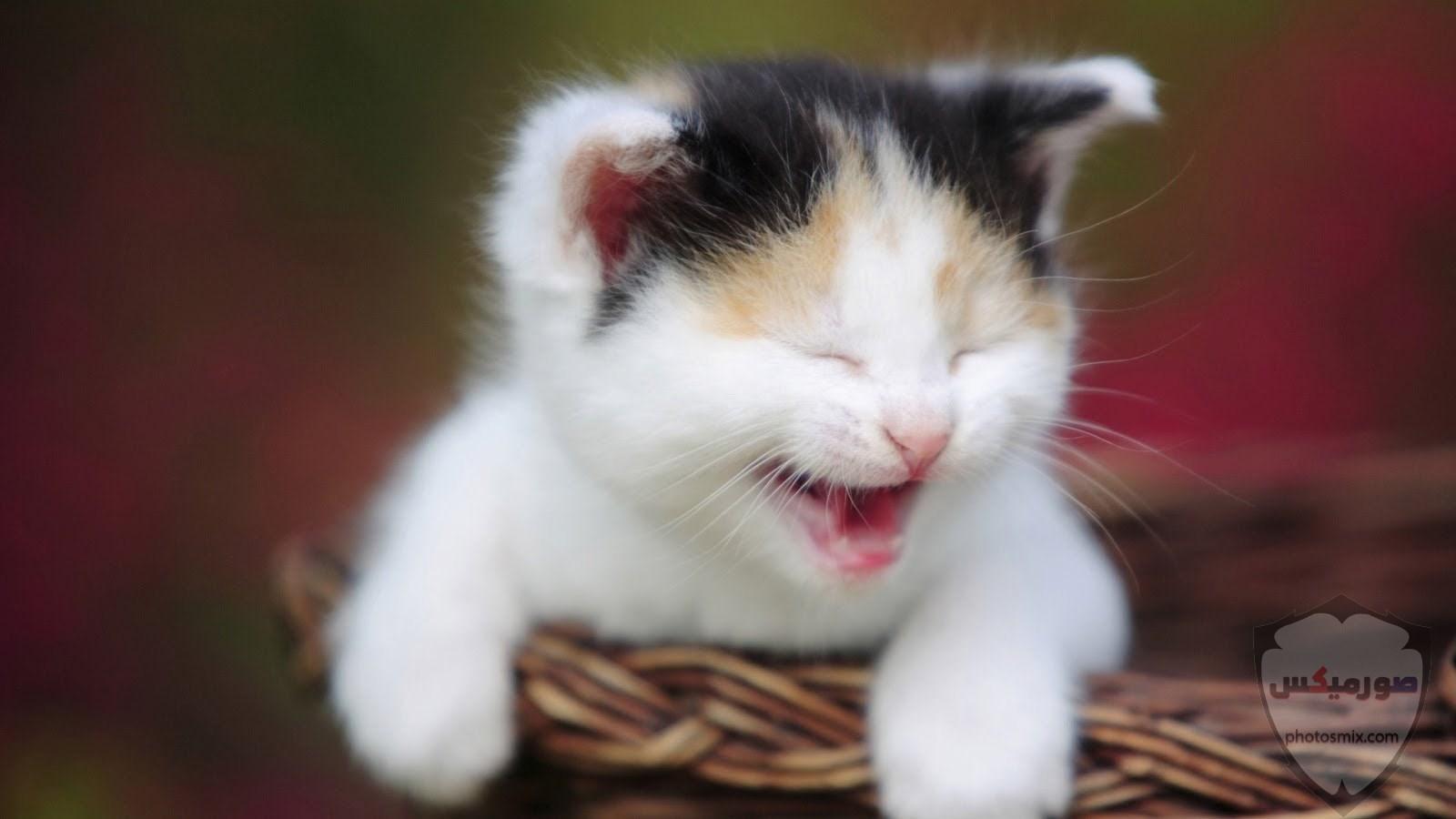 صور خلفيات رمزيات قطط كيوت صورة قطة كيوت جدا 45