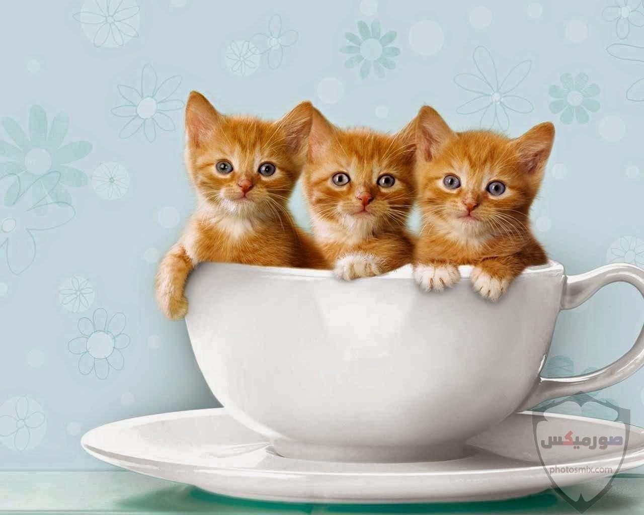 صور خلفيات رمزيات قطط كيوت صورة قطة كيوت جدا 47