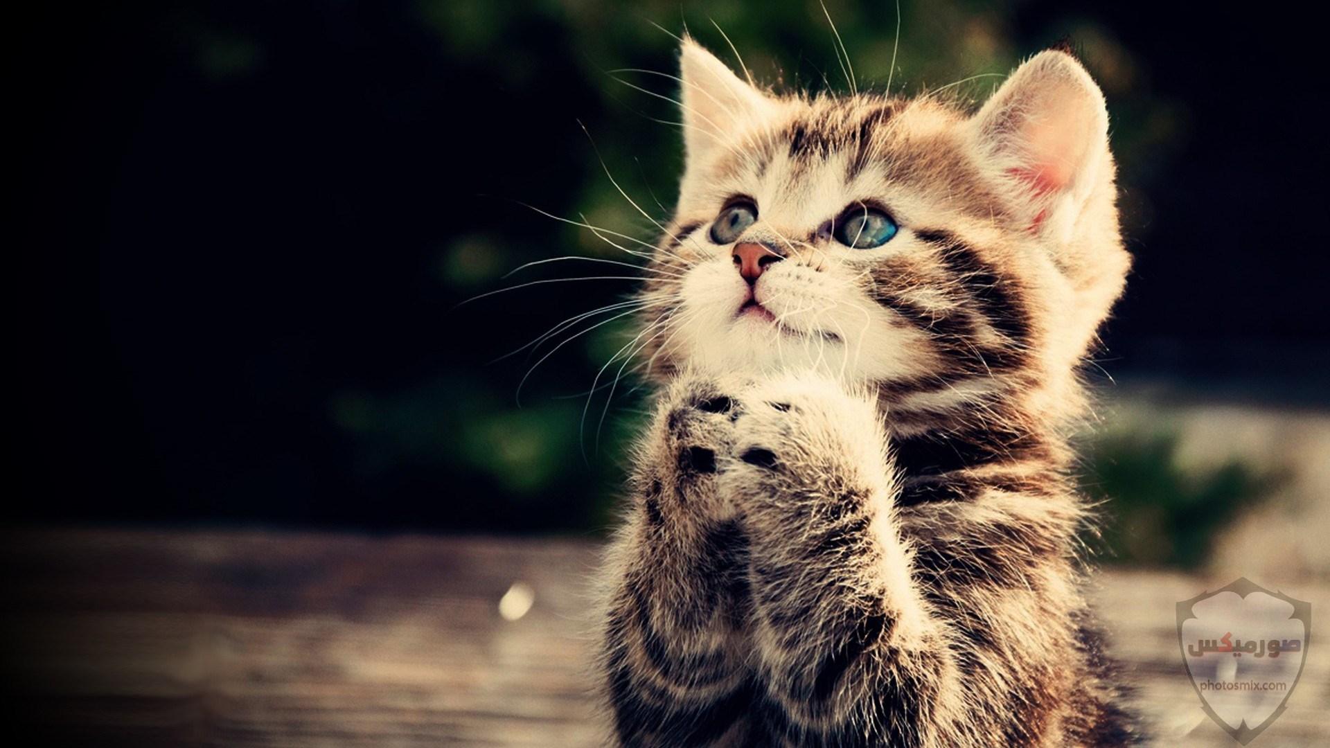 صور خلفيات رمزيات قطط كيوت صورة قطة كيوت جدا 49