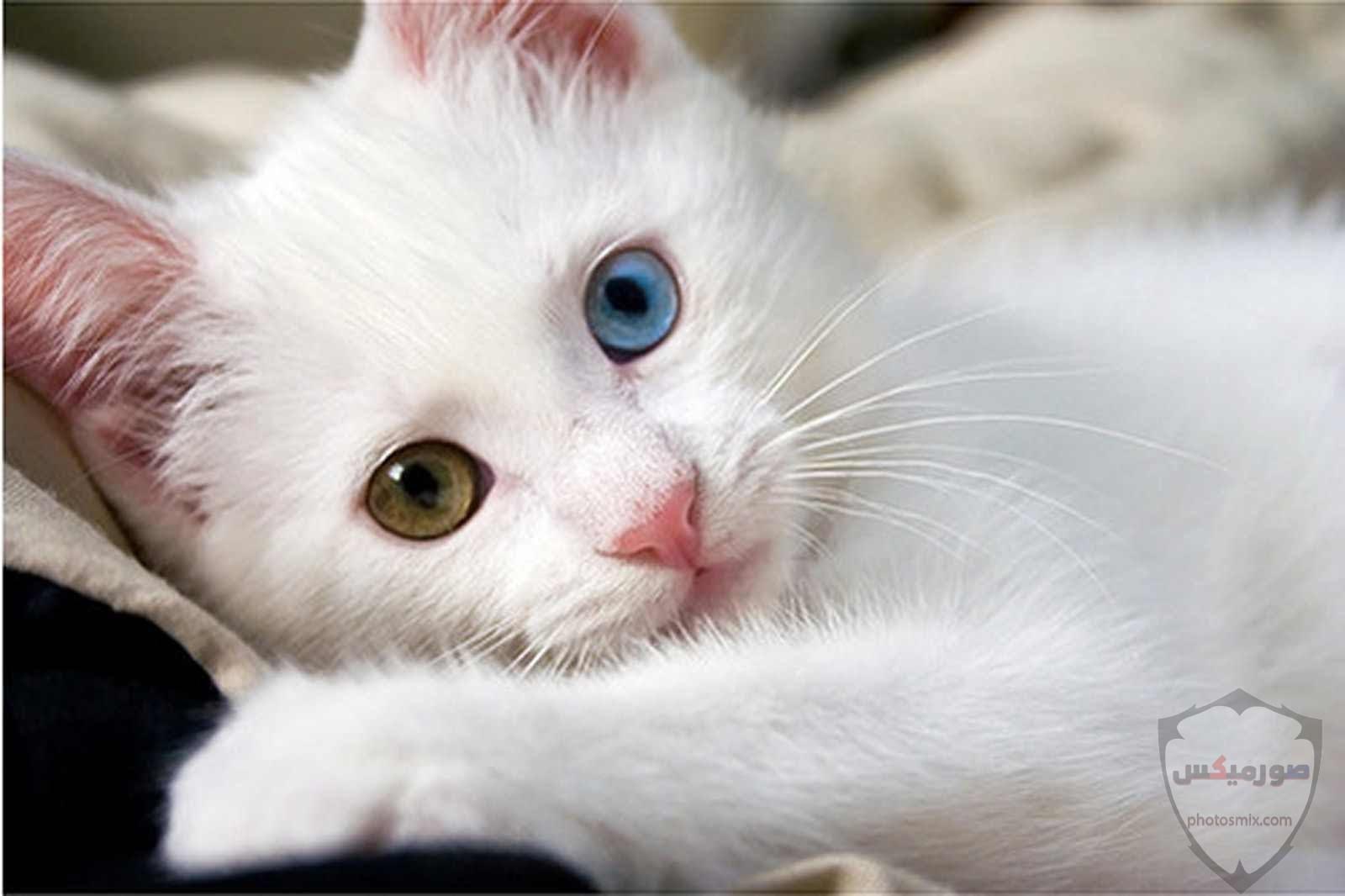 صور خلفيات رمزيات قطط كيوت صورة قطة كيوت جدا 50