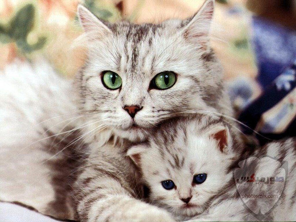 صور خلفيات رمزيات قطط كيوت صورة قطة كيوت جدا 55