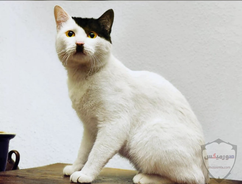 صور خلفيات رمزيات قطط كيوت صورة قطة كيوت جدا 60