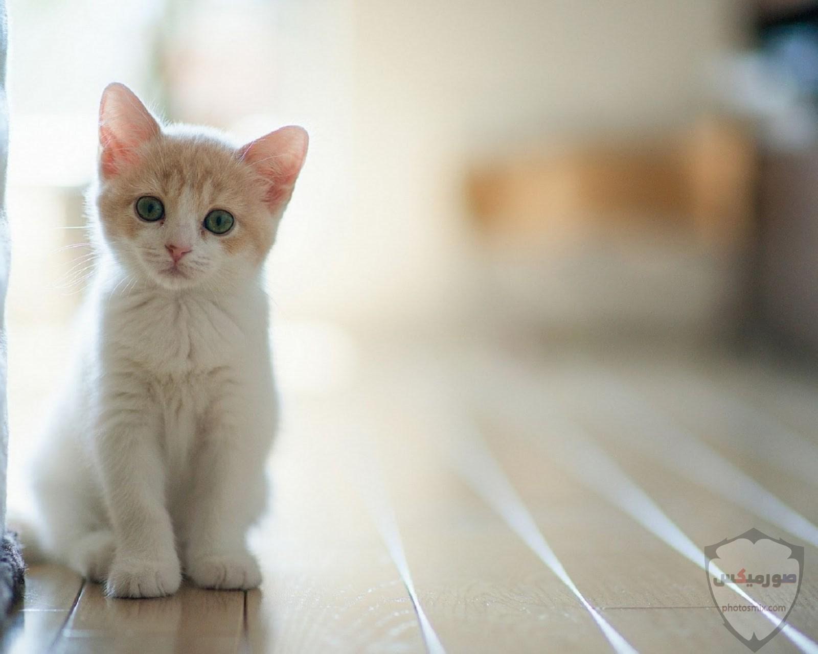صور خلفيات رمزيات قطط كيوت صورة قطة كيوت جدا 62