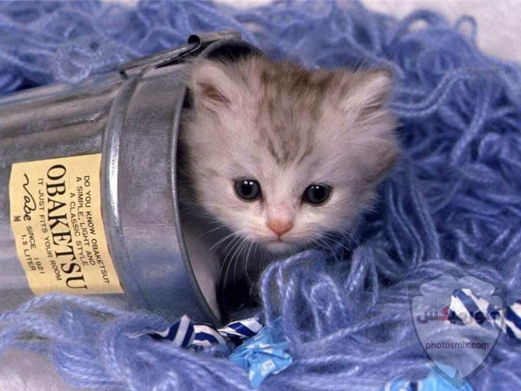 صور خلفيات رمزيات قطط كيوت صورة قطة كيوت جدا 63