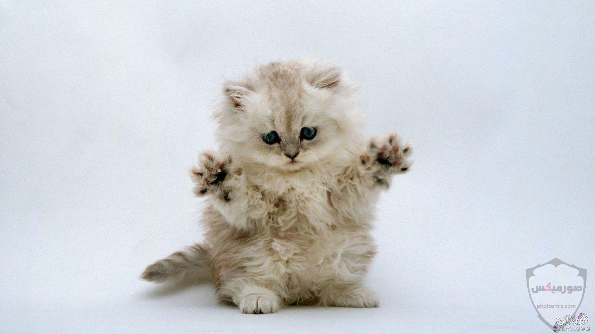 صور خلفيات رمزيات قطط كيوت صورة قطة كيوت جدا 66