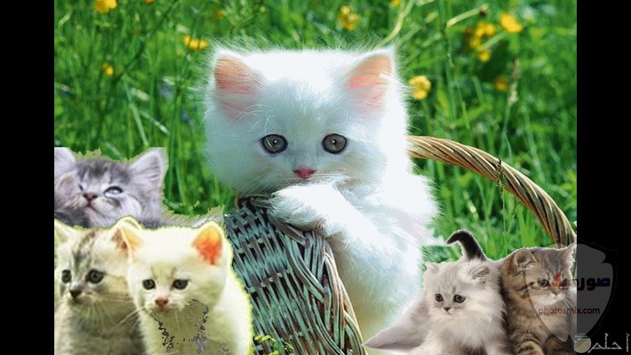 صور خلفيات رمزيات قطط كيوت صورة قطة كيوت جدا 68