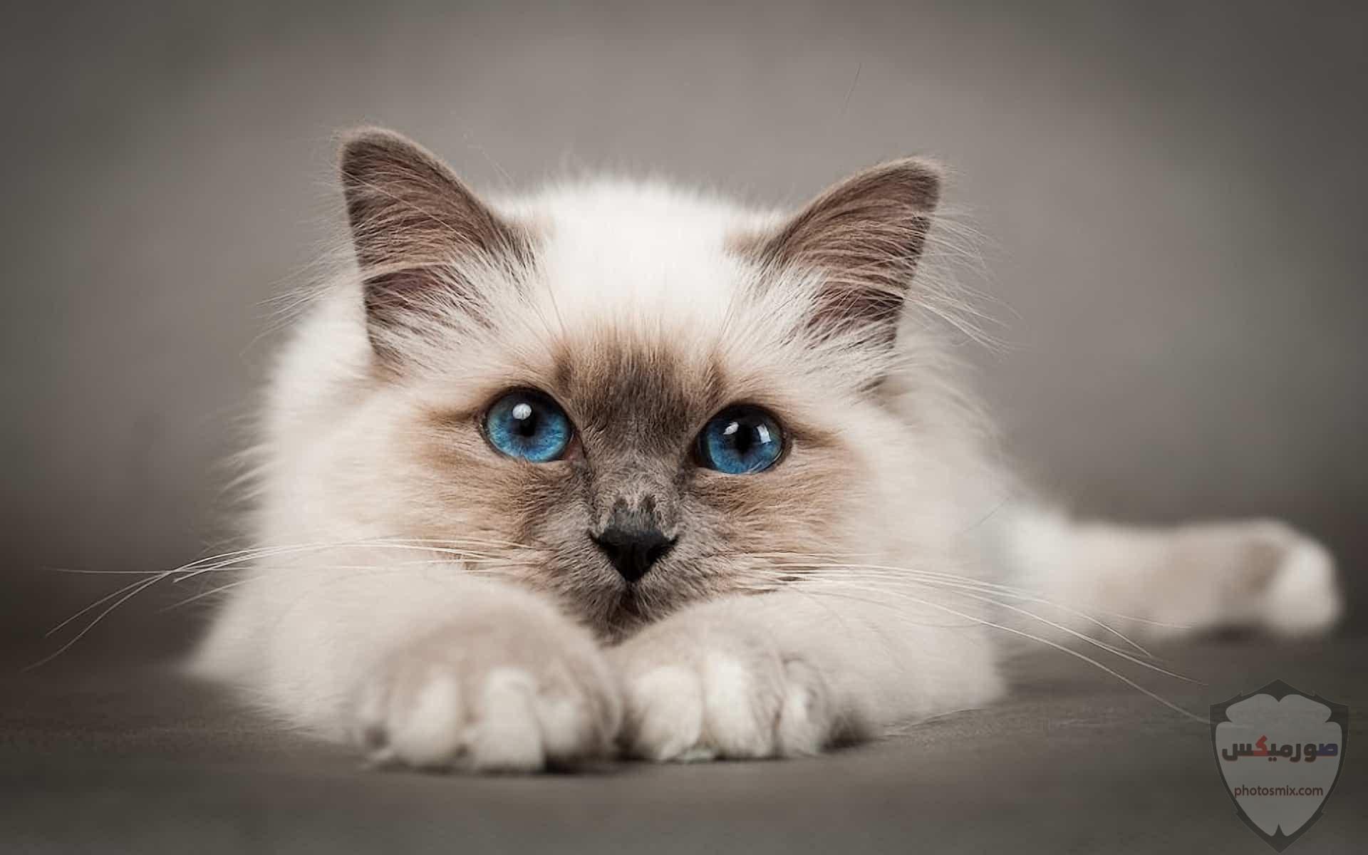 صور خلفيات رمزيات قطط كيوت صورة قطة كيوت جدا 7
