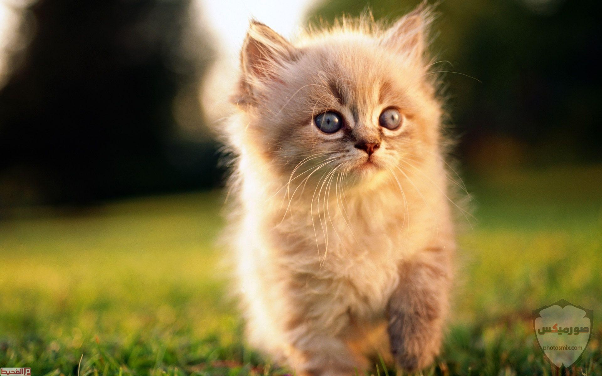 صور خلفيات رمزيات قطط كيوت صورة قطة كيوت جدا 9