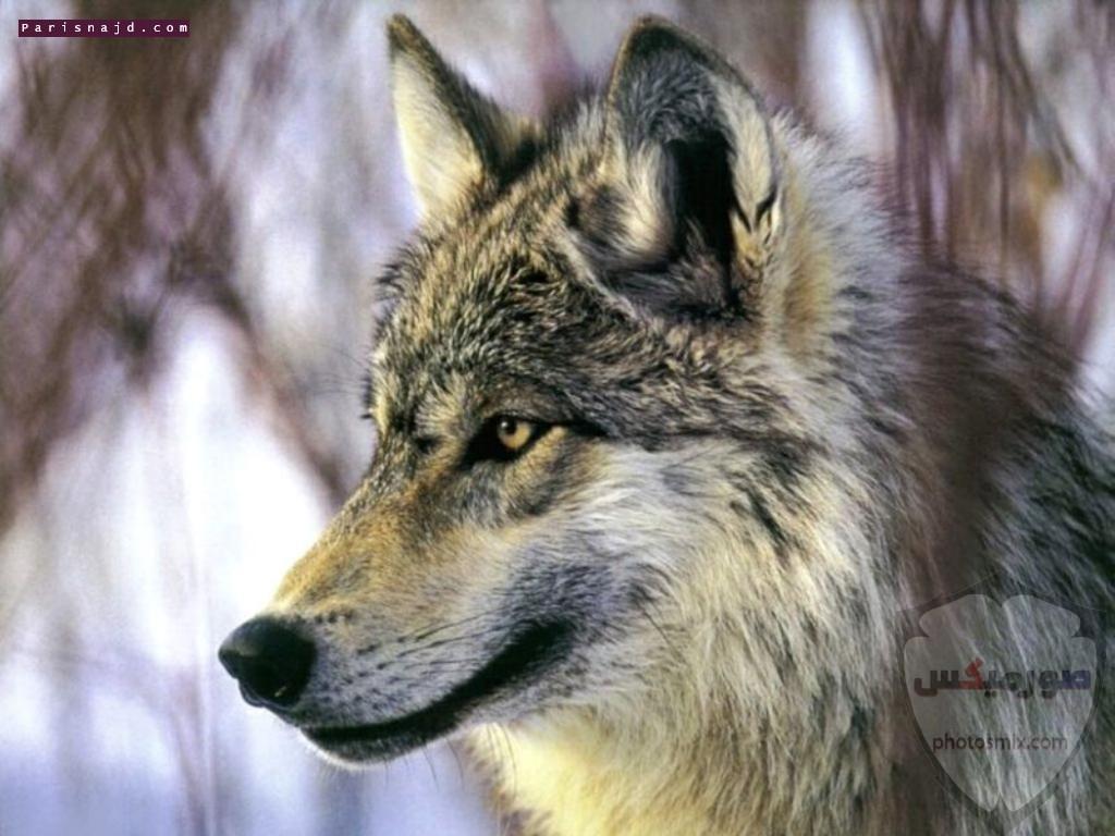صور ذئاب صور ذئب مكتوب عليها كلام خلفيات ذئاب مرعبة خلفيات ذئاب جميلة صور خلفيات ذئاب خلفيات صور ذئاب حلوة صور ذئاب للواتس اب 12
