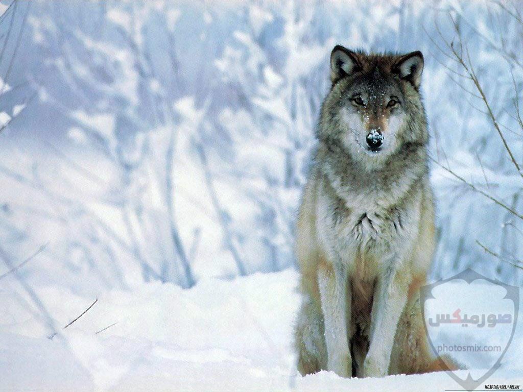صور ذئاب صور ذئب مكتوب عليها كلام خلفيات ذئاب مرعبة خلفيات ذئاب جميلة صور خلفيات ذئاب خلفيات صور ذئاب حلوة صور ذئاب للواتس اب 13