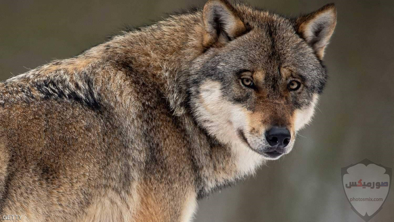 صور ذئاب صور ذئب مكتوب عليها كلام خلفيات ذئاب مرعبة خلفيات ذئاب جميلة صور خلفيات ذئاب خلفيات صور ذئاب حلوة صور ذئاب للواتس اب 16