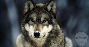 صور ذئاب صور ذئب مكتوب عليها كلام خلفيات ذئاب مرعبة خلفيات ذئاب جميلة صور خلفيات ذئاب خلفيات صور ذئاب حلوة صور ذئاب للواتس اب 6