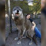 صور ذئب خلفيات و معلومات كاملة عن الذئاب 1