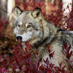صور ذئب خلفيات و معلومات كاملة عن الذئاب 13
