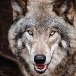 صور ذئب خلفيات و معلومات كاملة عن الذئاب 15