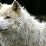 صور ذئب خلفيات و معلومات كاملة عن الذئاب 17