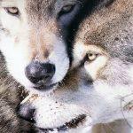 صور ذئب خلفيات و معلومات كاملة عن الذئاب 18