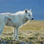 صور ذئب خلفيات و معلومات كاملة عن الذئاب 19