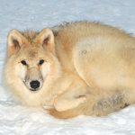 صور ذئب خلفيات و معلومات كاملة عن الذئاب 22