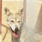 صور ذئب خلفيات و معلومات كاملة عن الذئاب 24
